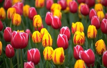 Как покупать и выращивать тюльпаны